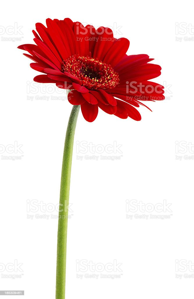 Red Gerbera (Clipping Path) stock photo