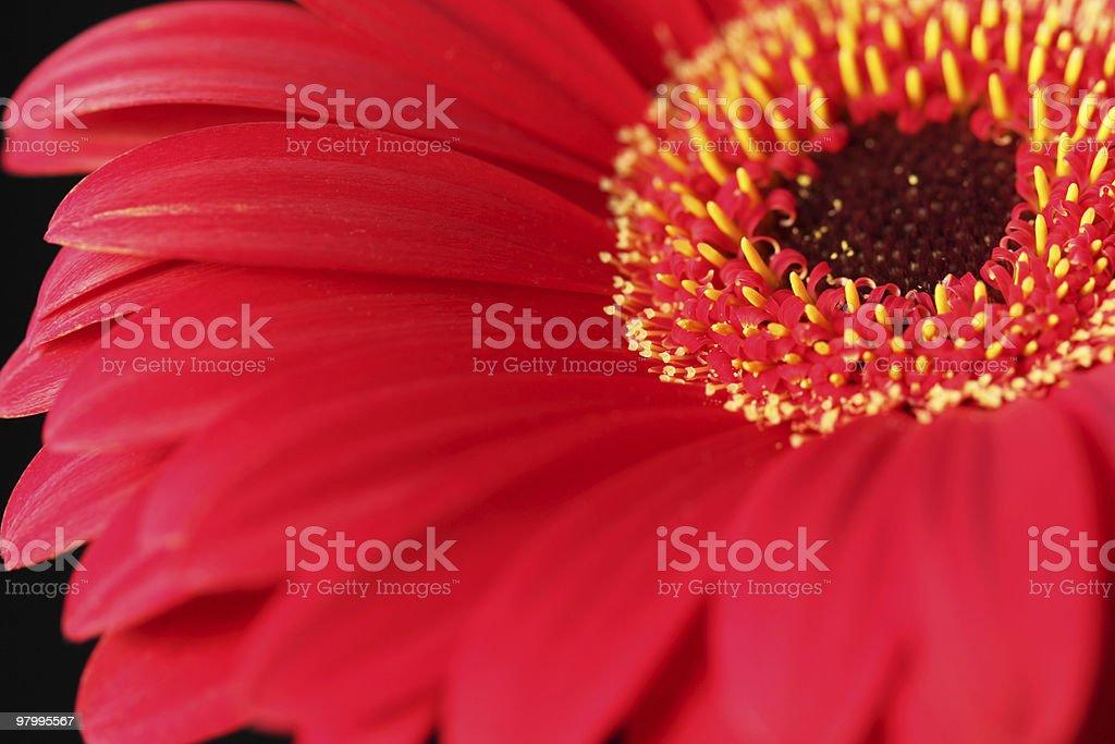 Red gerbera stock photo