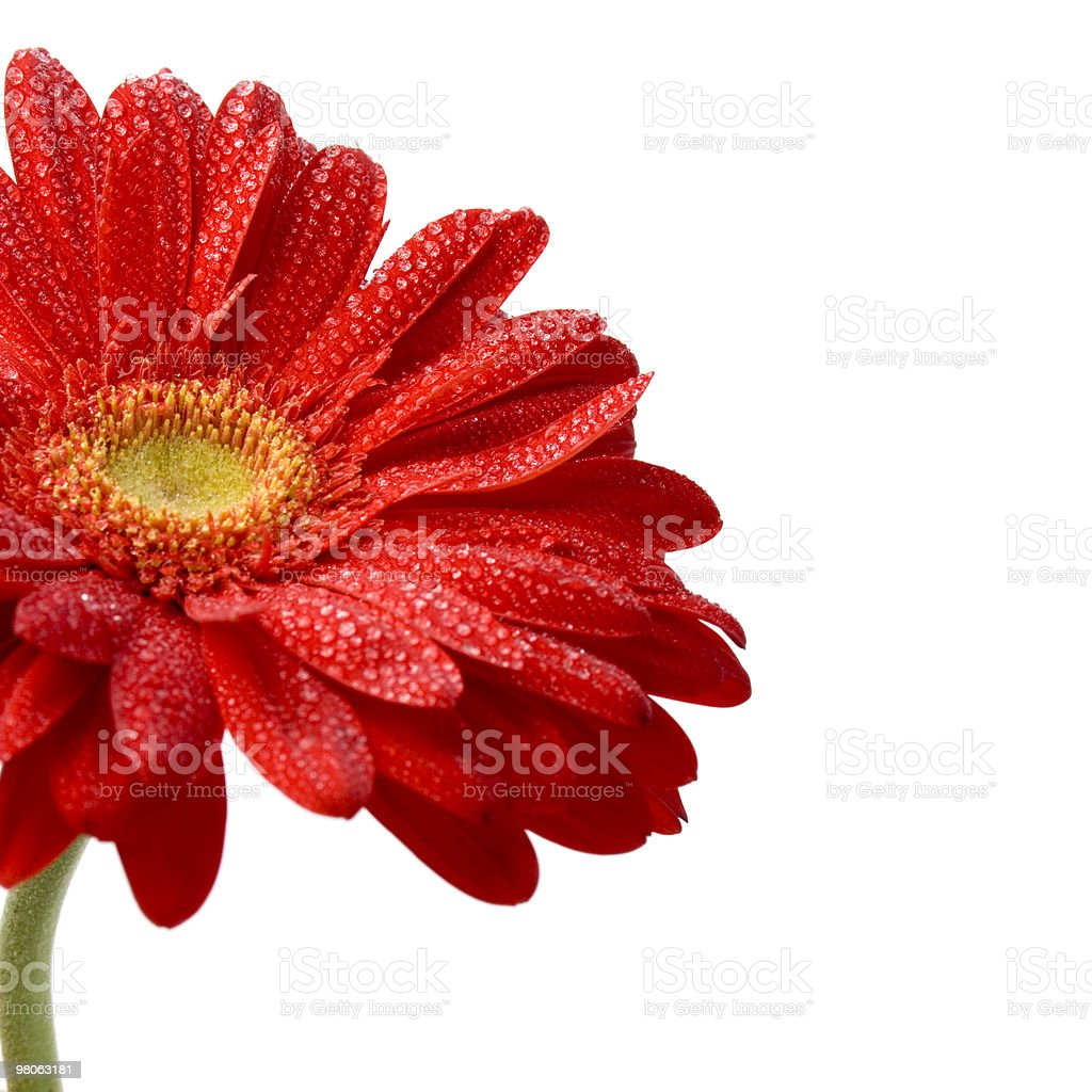 red gerbera royalty-free stock photo