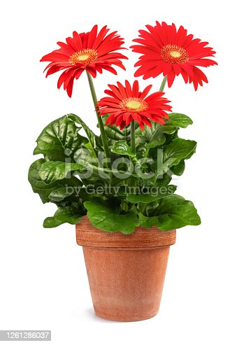 Red Gerbera plant in vase  isolated on white background