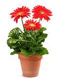 istock Red Gerbera plant 1261286037