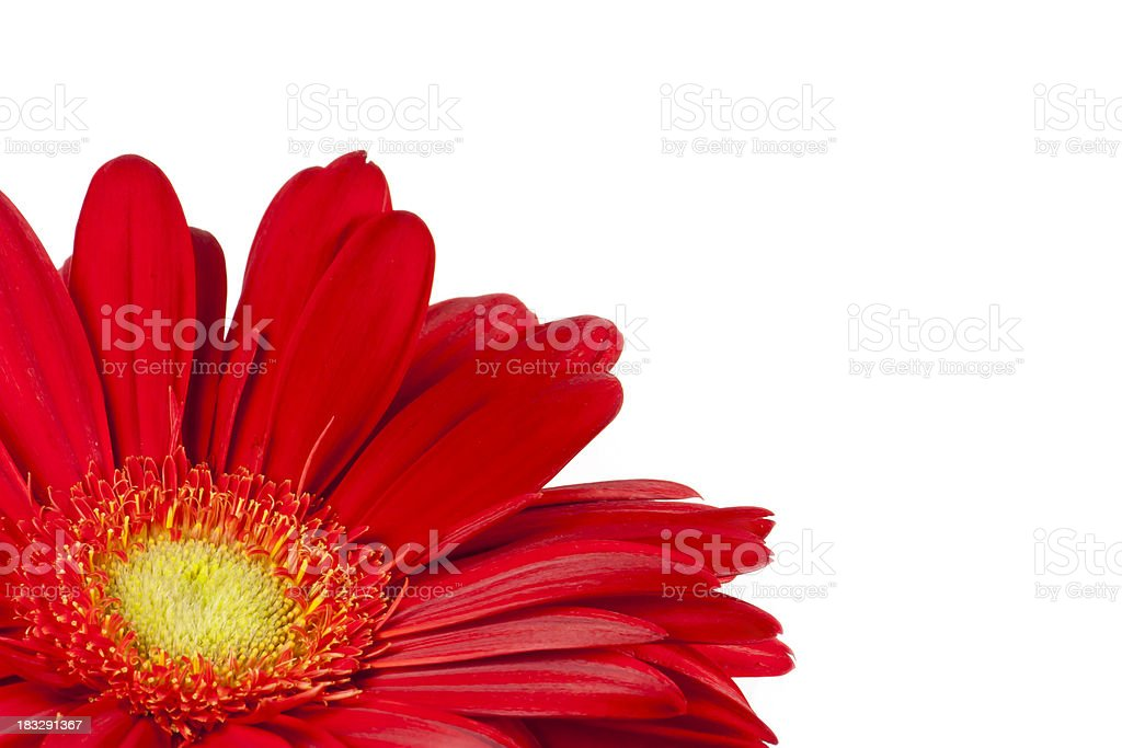 red gerbera, spring time flower beauty in nature stock photo