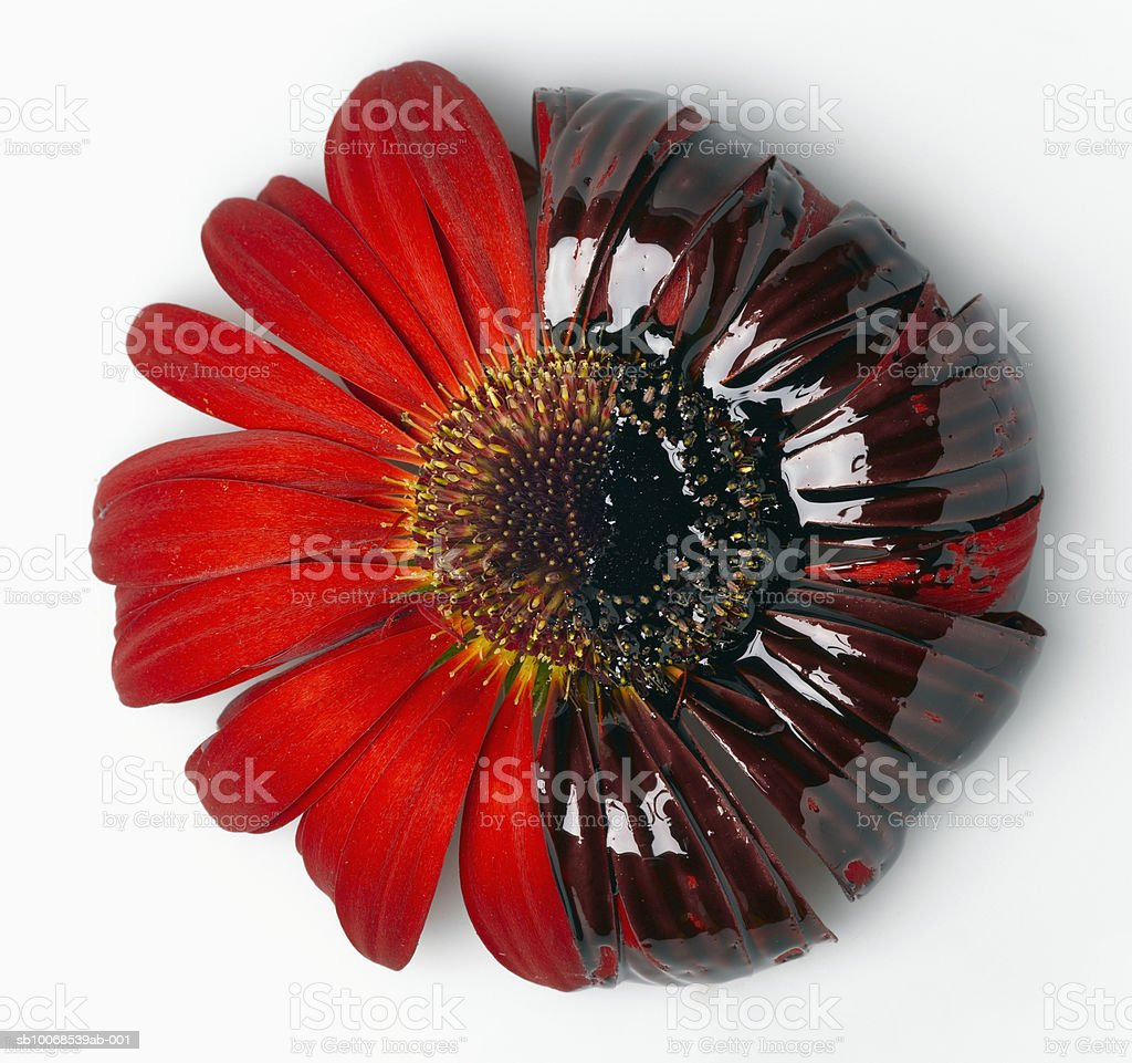 Red gerbera with motor oil, close-up royalty-free stock photo