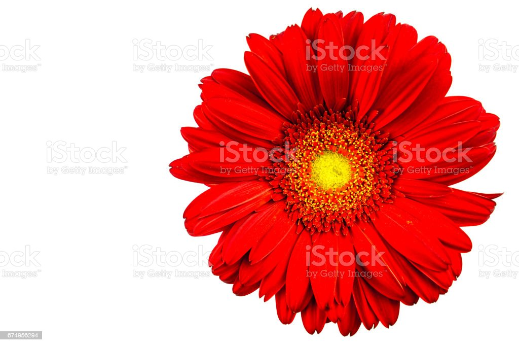 Red gerbera with white background stock photo