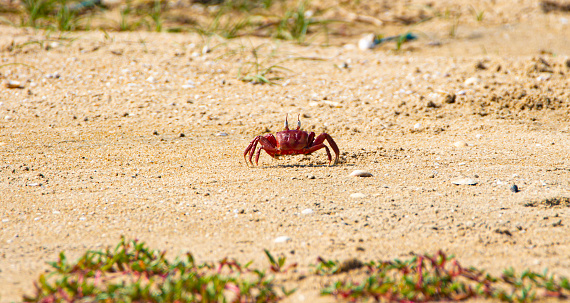 Red ghost crab running on a island in India