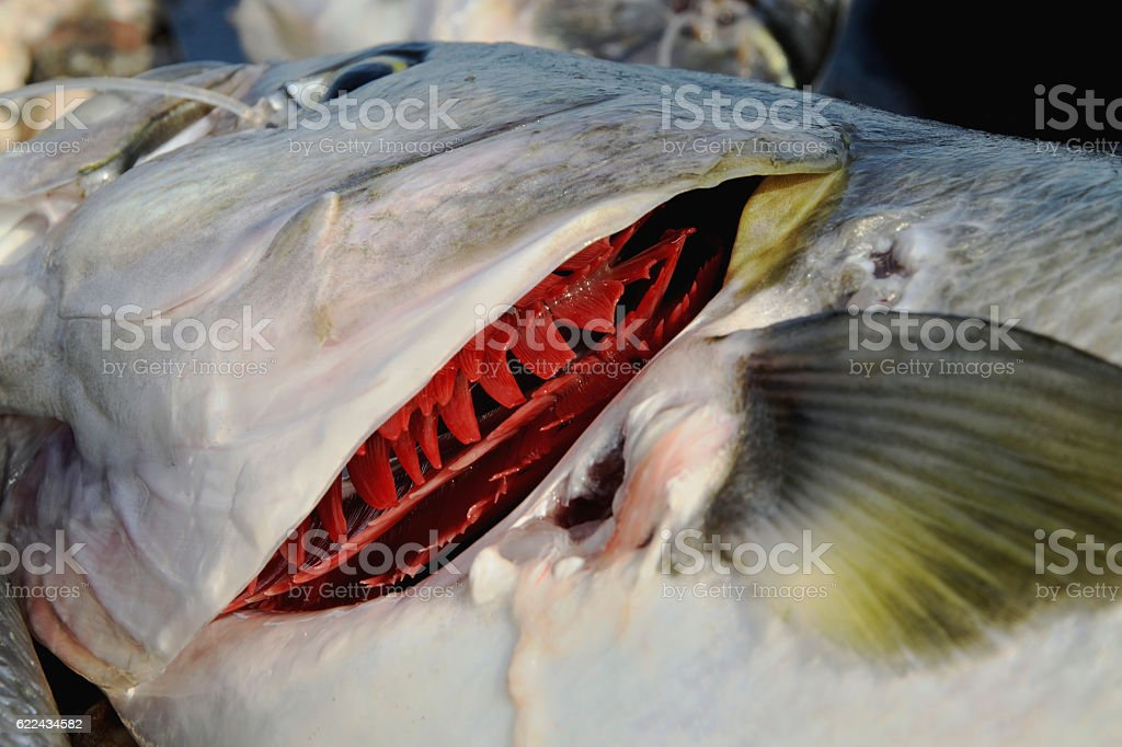 Red gills of a fish freshly caught fish stock photo