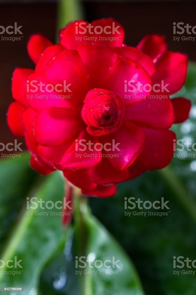 red ginger bloom stock photo