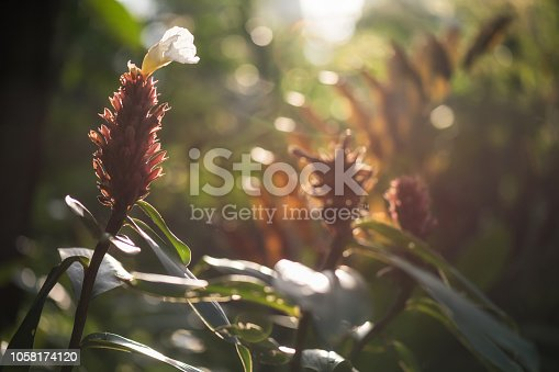 Indian Head red Ginger flower or Zingiberales in wild forest against sunrise light with greenery bokeh background. Spring season. Travel in jungle.