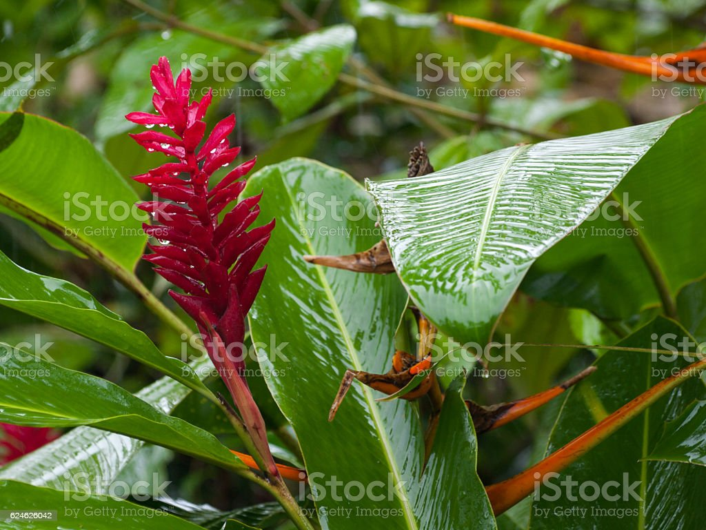 Red ginger in rain in Tortuguero national park, Costa Rica stock photo
