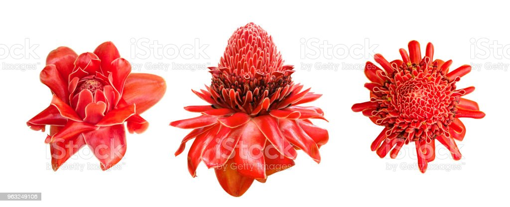 Red ginger lily flower (Etlingera elatior) tropical plant set isolated on white background, clipping path included stock photo