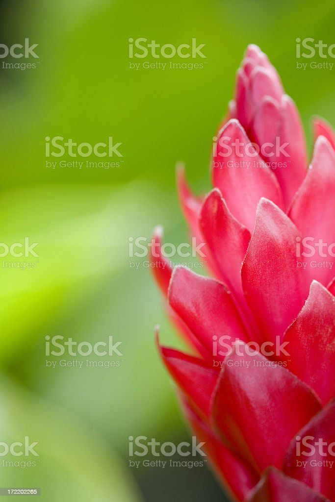 Red Ginger (Closeup) stock photo