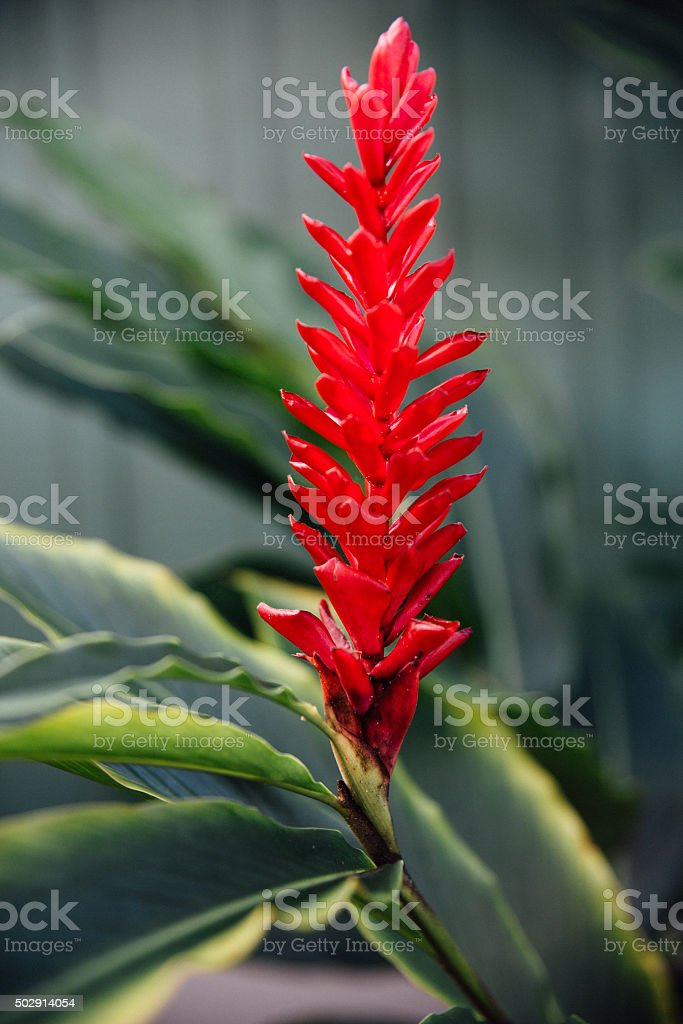 Red Ginger stock photo