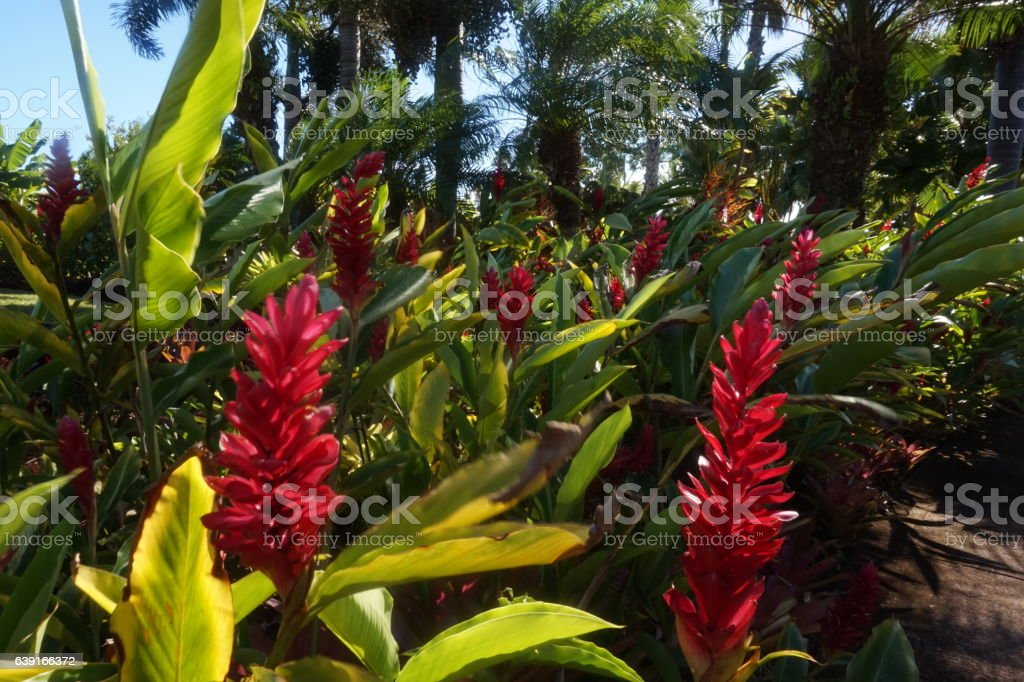 Red gjnger plants stock photo