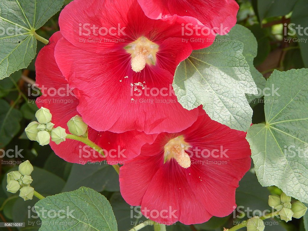 Red Gladiolus Beautiful Flowers In The Garden Stock Photo More