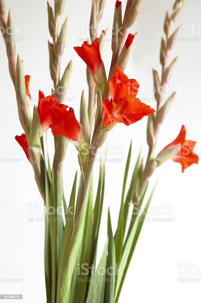Red Gladiolus royalty-free stock photo
