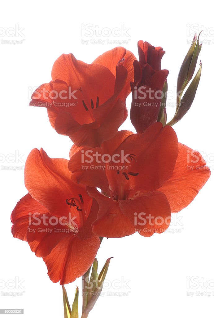 red gladiolus royalty-free stock photo