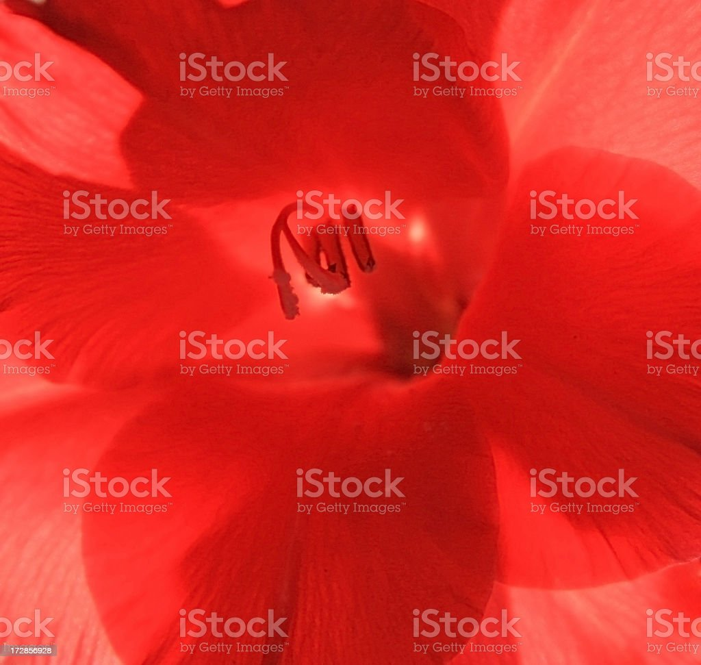 Red Gladiolus,interior. royalty-free stock photo