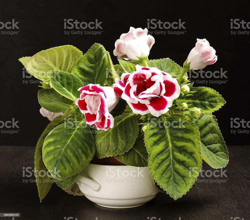 Glossinia Fiore Rosso Su Sfondo Nero Fotografie Stock E Altre