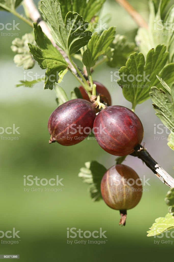 Red gooseberries on the bush stock photo