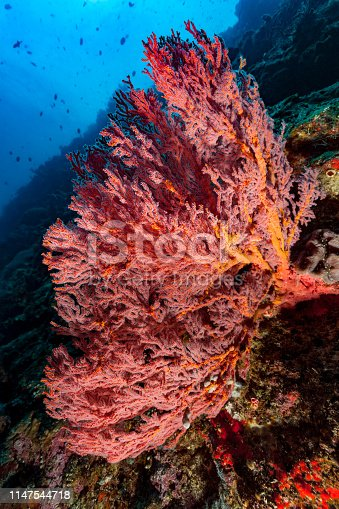 In 1991 near Manado, North Sulawesi, the Bunaken National Park was established. The park comprises the five islands of Bunaken, Manado Tua, Siladen, Montehage and Nain. The number of different fish species is estimated at 2000. There are at least 58 different genera and sub-genera of corals in the park. This Gorgonian Sea Fan Mopsella sp. with extended polyps is from Lekuan II, at the reef slope just after the famous wall at Bunaken Island, part of the Bunaken National Marine Park. The silhouette of the Blue Triggerfish Odonus niger is easy to identify, no matter how blurred it is. North Sulawesi, Indonesia, 1°35'57.4