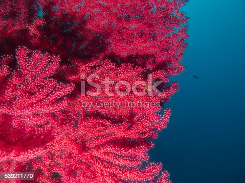 Red Gorgonian Seafan Beauty,  Ayvalık, Turkey