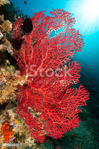 Beautiful red Gorgonian Seafan at the North East side of Kri Island,