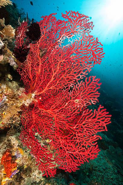 red gorgonian seafan piękno, raja ampat, indonezja - parzydełkowce zdjęcia i obrazy z banku zdjęć