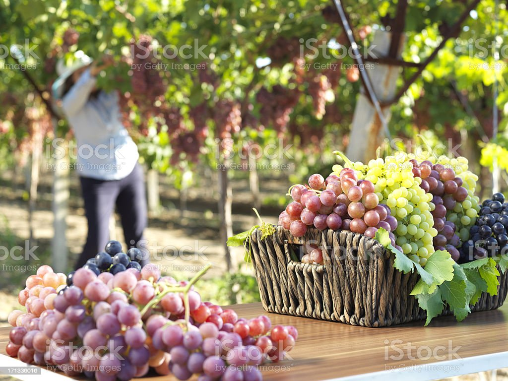 Red Grape and Vineyard royalty-free stock photo