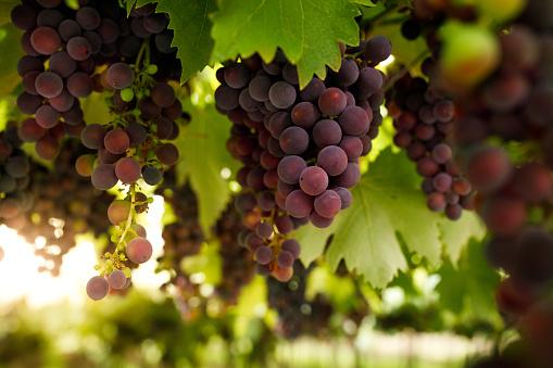 Red grape close up