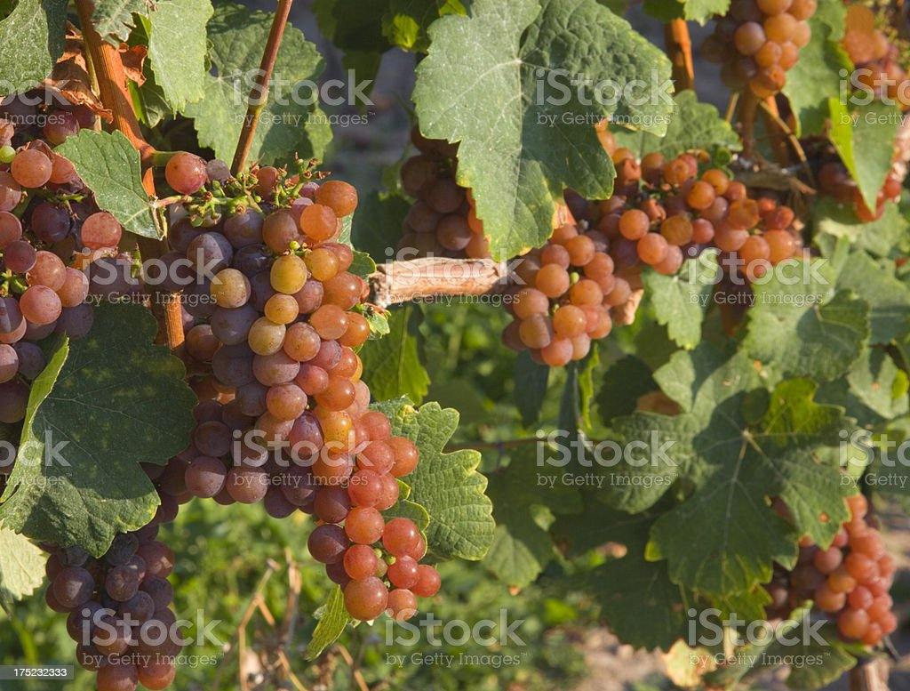 Red grape cluster on vine in New York wine country stock photo