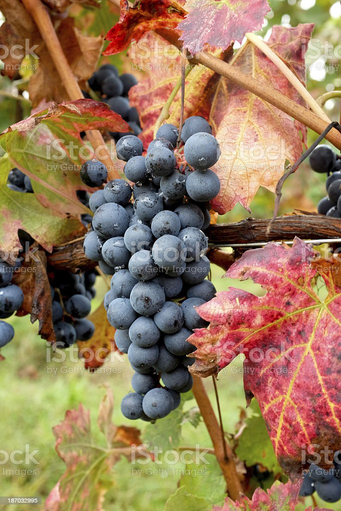 Red Grape hanging in vineyard stock photo