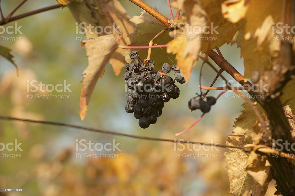 Red Grape in Autumn stock photo