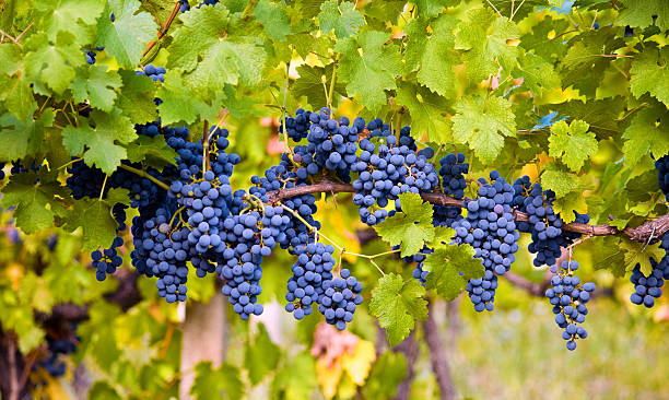Red Grape Red Grape in Vineyard merlot grape stock pictures, royalty-free photos & images
