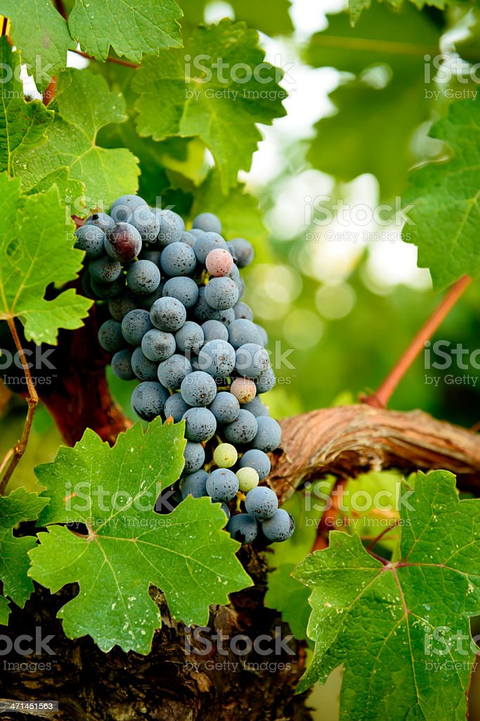 Red Grape ready for harvest stock photo