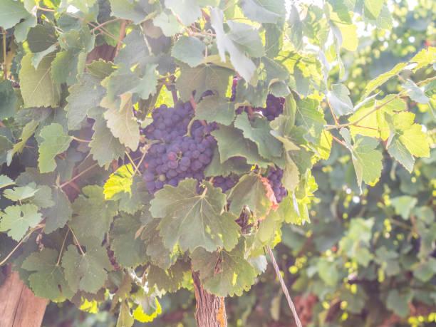 red grapes growing in setubal wine region, portugal - setubal imagens e fotografias de stock