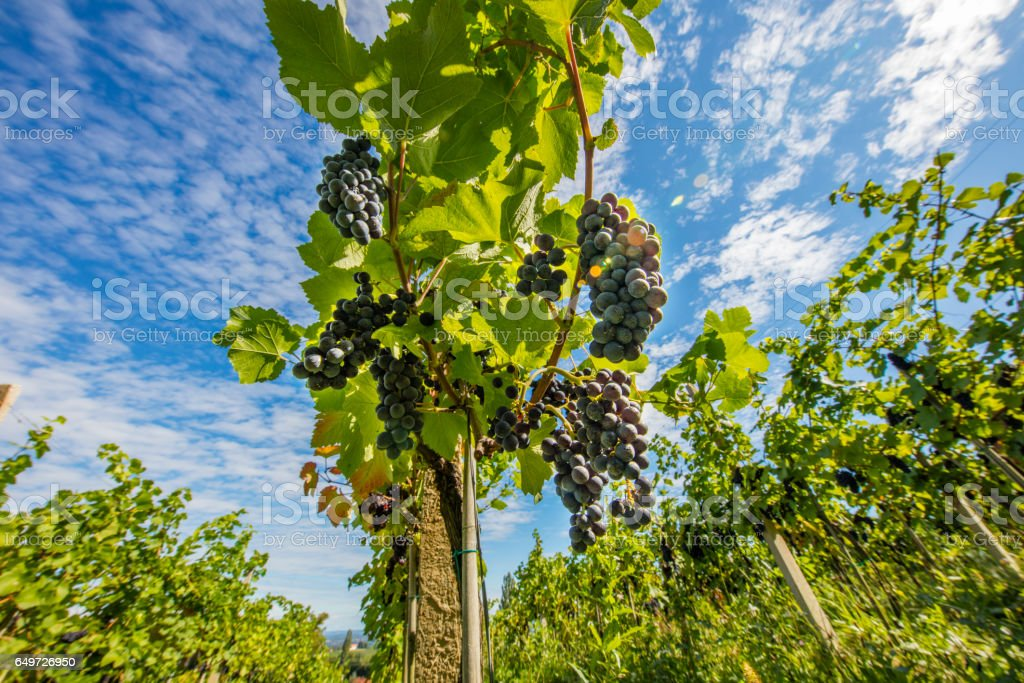 Red grapes hanging from plants at vineyard stock photo