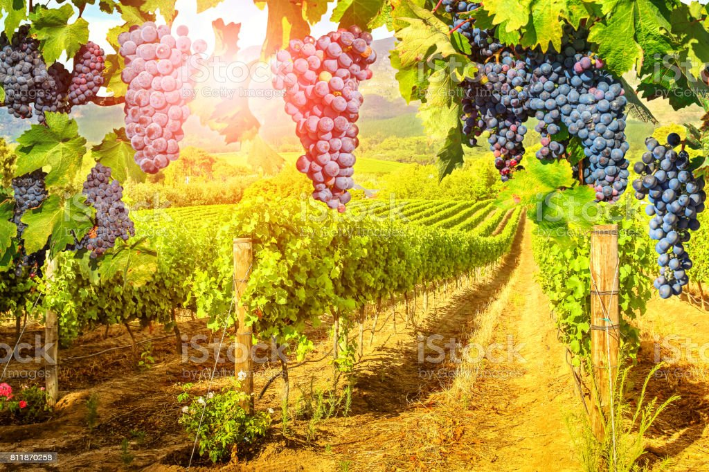 Red grapes hanging in vineyard stock photo
