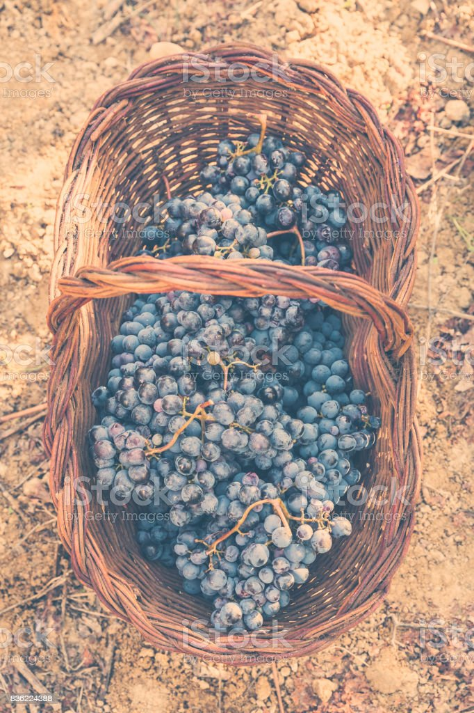 Red grapes in a basket in vineyard stock photo