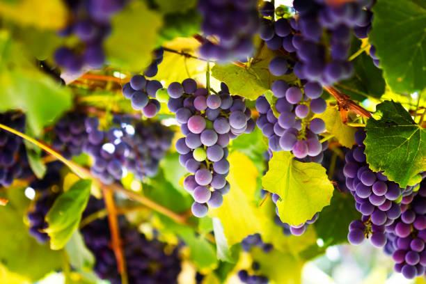 roten trauben in the vineyard - bund stock-fotos und bilder
