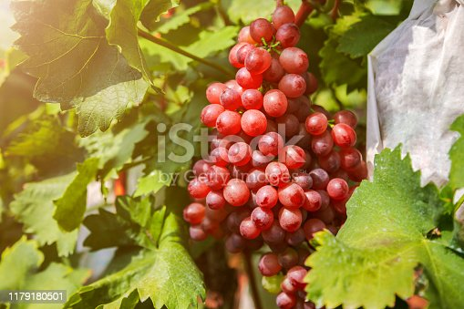 924487256 istock photo Red grapes in the vineyard 1179180501