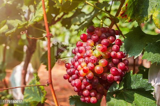 924487256 istock photo Red grapes in the vineyard 1179180517