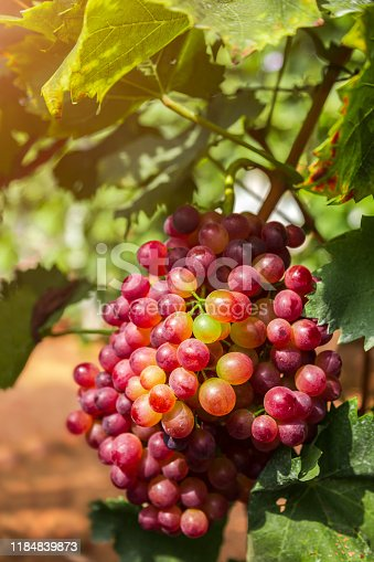 924487256 istock photo Red grapes in the vineyard 1184839873