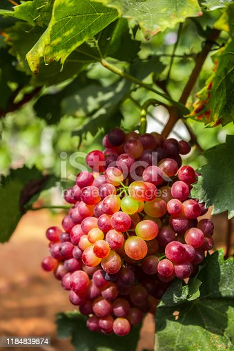 924487256 istock photo Red grapes in the vineyard 1184839874