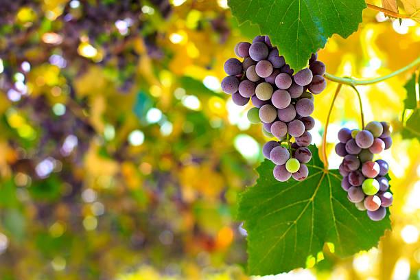 Raisin rouge dans le vignoble - Photo