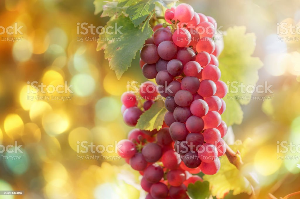 Red grapes in vineyard at sunset stock photo