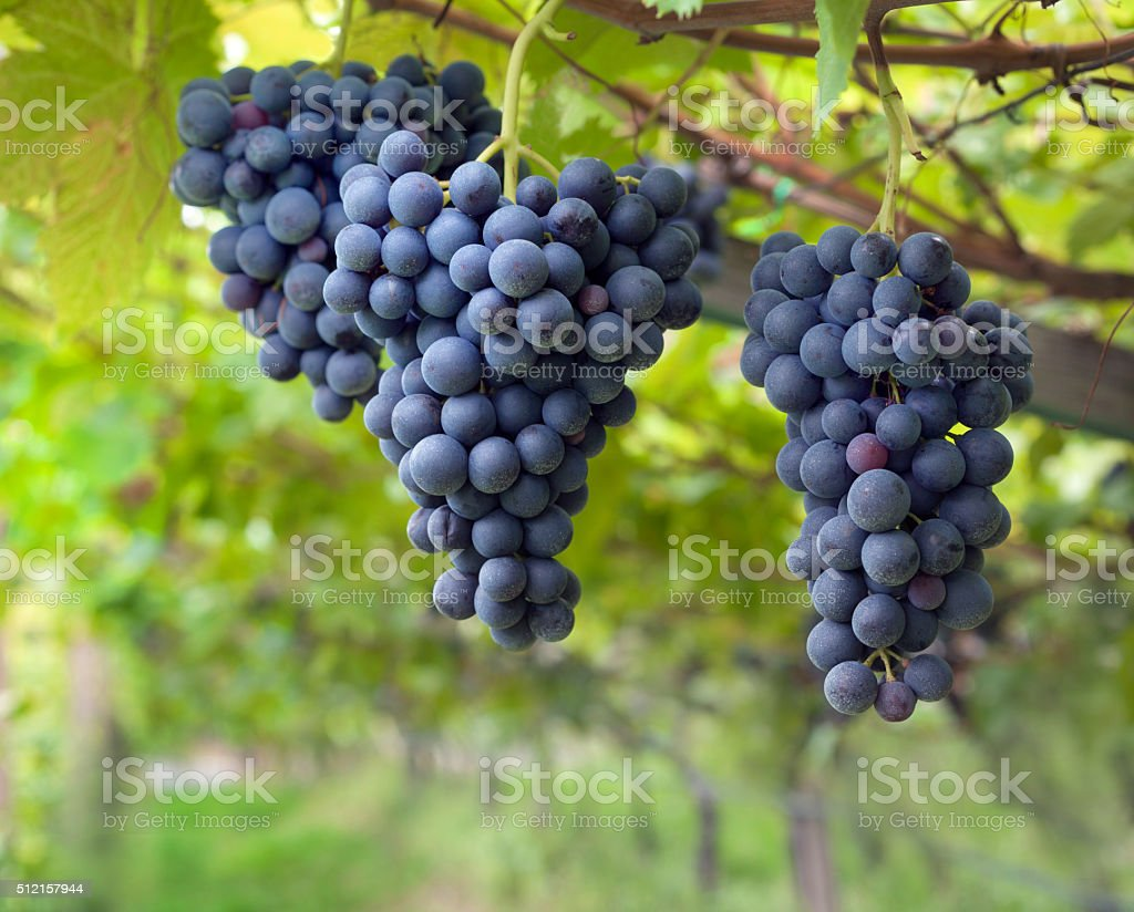 Red grapes in vineyard stock photo