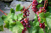 Grape of vine into vineyards of Beaujolais