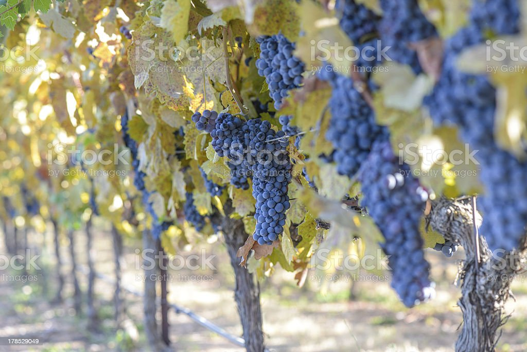 Red Grapes on a Grapevine royalty-free stock photo