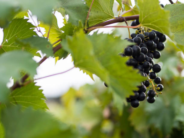 Red Grapes on A Vine Hiding Behind Leaves stock photo