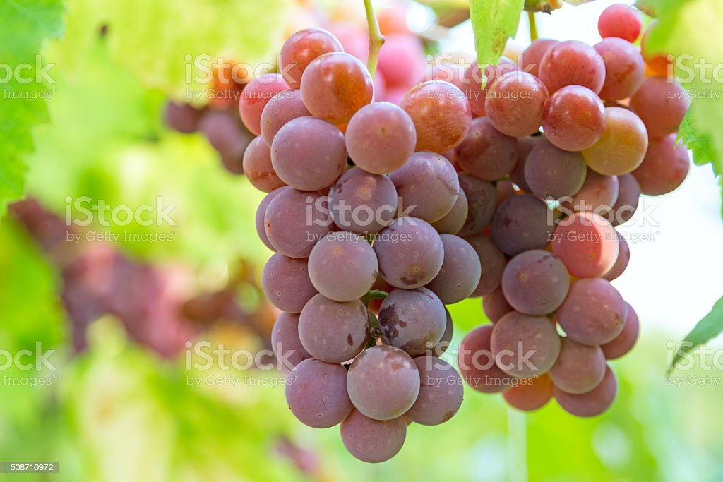 Red grapes on branch stock photo